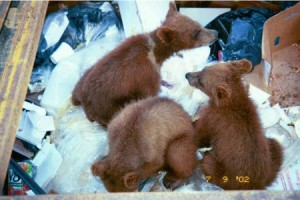 """Cubs in the """"Bear-Proof"""" Container"""